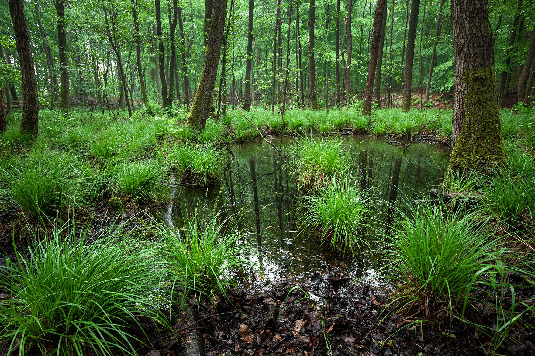 Intensives Maigrün in sumpfigen Ecken eines Waldes in Schleswig-Holstein.
